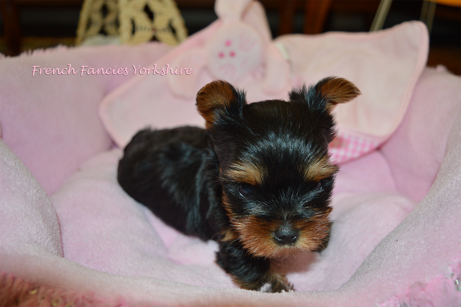 Nos Chiots Yorkshire Toy - Nos Chiots Yorkshire a vendre