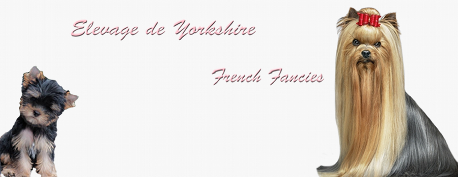 Elevage de Yorkshire, propose ses chiots Yorkshire à vendre – French Fancies