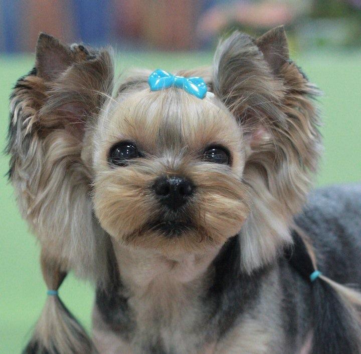 Coupe yorkshire puppy elevage de yorkshire propose ses - Modele de coupe pour yorkshire terrier ...