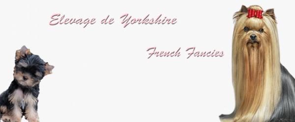 Elevage de Yorkshire, propose ses chiots Yorkshire à vendre – French Fancies